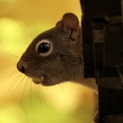 Squirrel on the woodshed