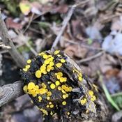 Mini champignons jaune!