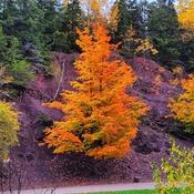 Victoria Park Maple Tree