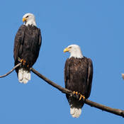 Which one of these is Sam the Eagle?