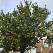 Crabapples in abundance this years. By Pat McDonald