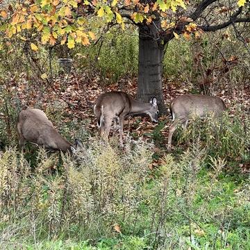 Deer in Neighbourhood