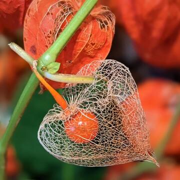 Chinese lathern flowers
