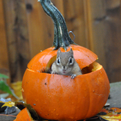 Happy Halloween from Chippie.