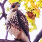 Oct 23 2021 1st time Snapshot a Peregrine falcon -William Baker Trail North York