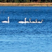 Family of Trumpeter Swans