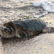 Snapping Turtle on the beach.