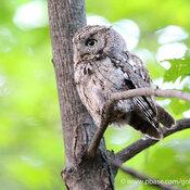 Eastern Screech Owl in Ottawa