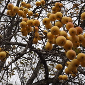 CRAB APPLE TREES