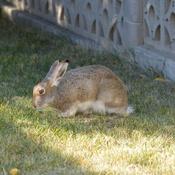 Tamed rabbit