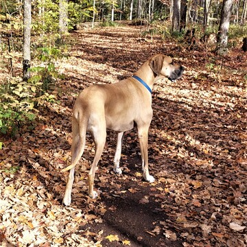 Great Dane on a Great Fall Day