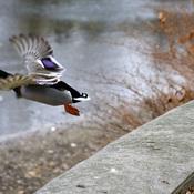 Guelph Ducks