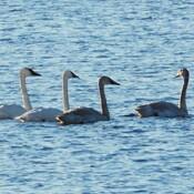 Trumpeter Swans in Ingleside Ontario