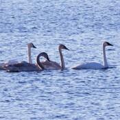 Rare Trumpeter Swans visit Ingleside Ontario