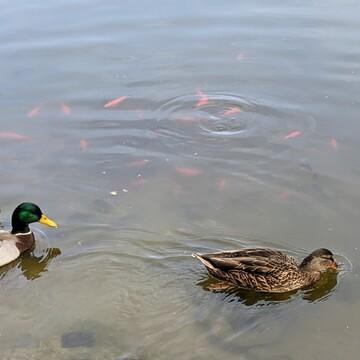 swiming duck & fish