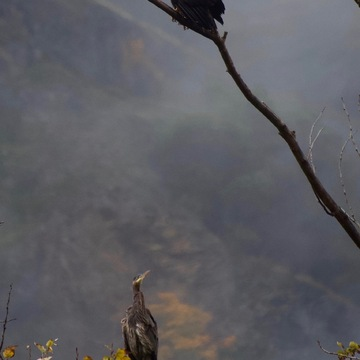 Bald Eagle + Great Blue Heron Oct 2021