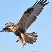 Young hawk