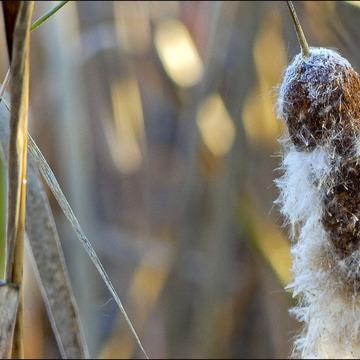 Seeding cattail, Elliot Lake.