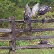 Thanksgiving over ... I can fly and roost !