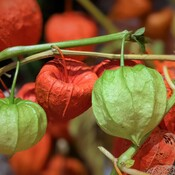 The changes of Chinese lantern flowers