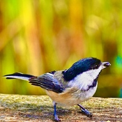 Chickadee with Fall colours background