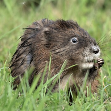 muskrats are out eating