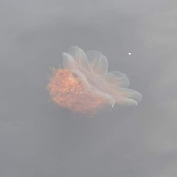 Lone jellyfish
