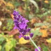 Late season lavender