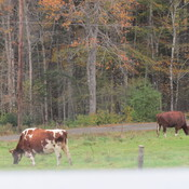 Cattle and cows.