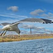 Ring-billed Gull Soaring