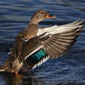 2021-10-22 - Female Mallard Duck in Esquimalt Lagoon