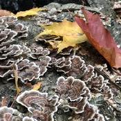 Turkey fungi- nature is amazing!