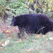 Black Bears on the Quinsam River