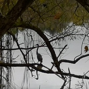 Blue Heron with Reflection