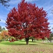Glorious maple 🍁 tree in Autumn 🍂!!