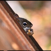 Squirrel through the deck rails