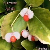 """Evergreen Spindle-Nature's """"Bundle"""" for Birds;)"""