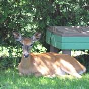 Bambi dans ma cour