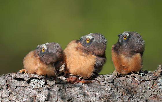 Northern Saw-whet Chicks