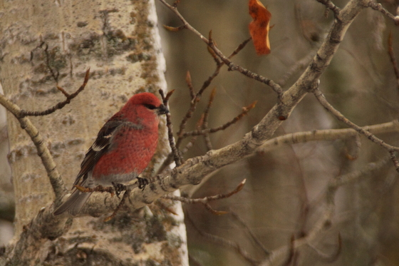 Pine Gros Beak in the Yard