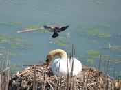 Redwing Black Bird attacking nest
