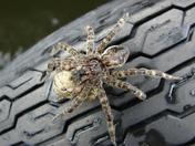 Tired Dock Spider