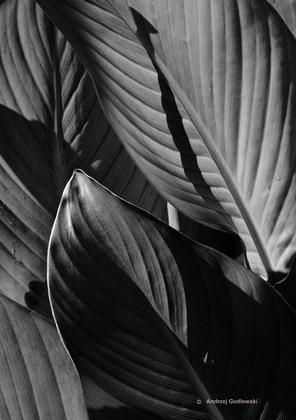 Leaves BW.jpg