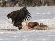 Bald Eagle Eating Deer 3.JPG