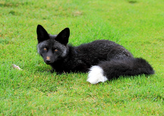 black fox close up.JPG