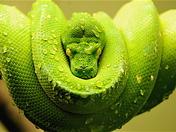 Green Snake at Toronto Zoo