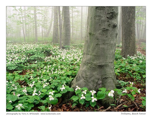 Beech Maple Forest ~ Canadian geographic photo club trilliums maple beech