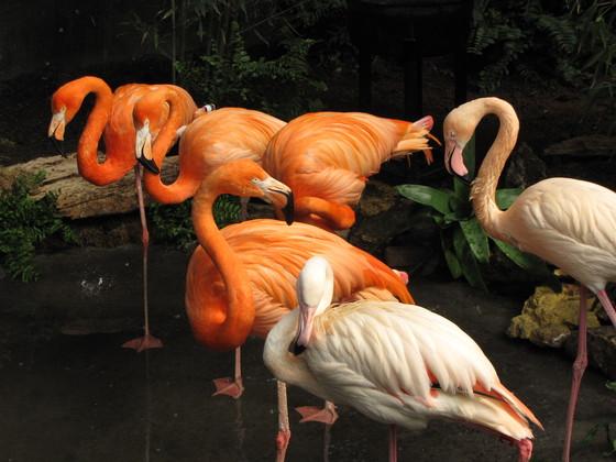 Flamingos at the Winnipeg Assiniboine Zoo Tropical House