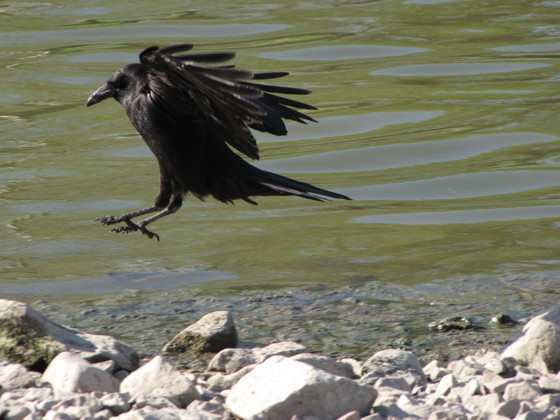 Crow rock hopping