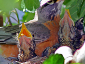A nest of robins in the trees